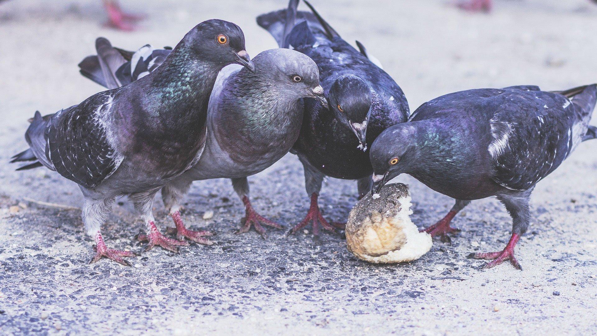 Ptaki lubią jeść chleb – mity na temat zwierząt