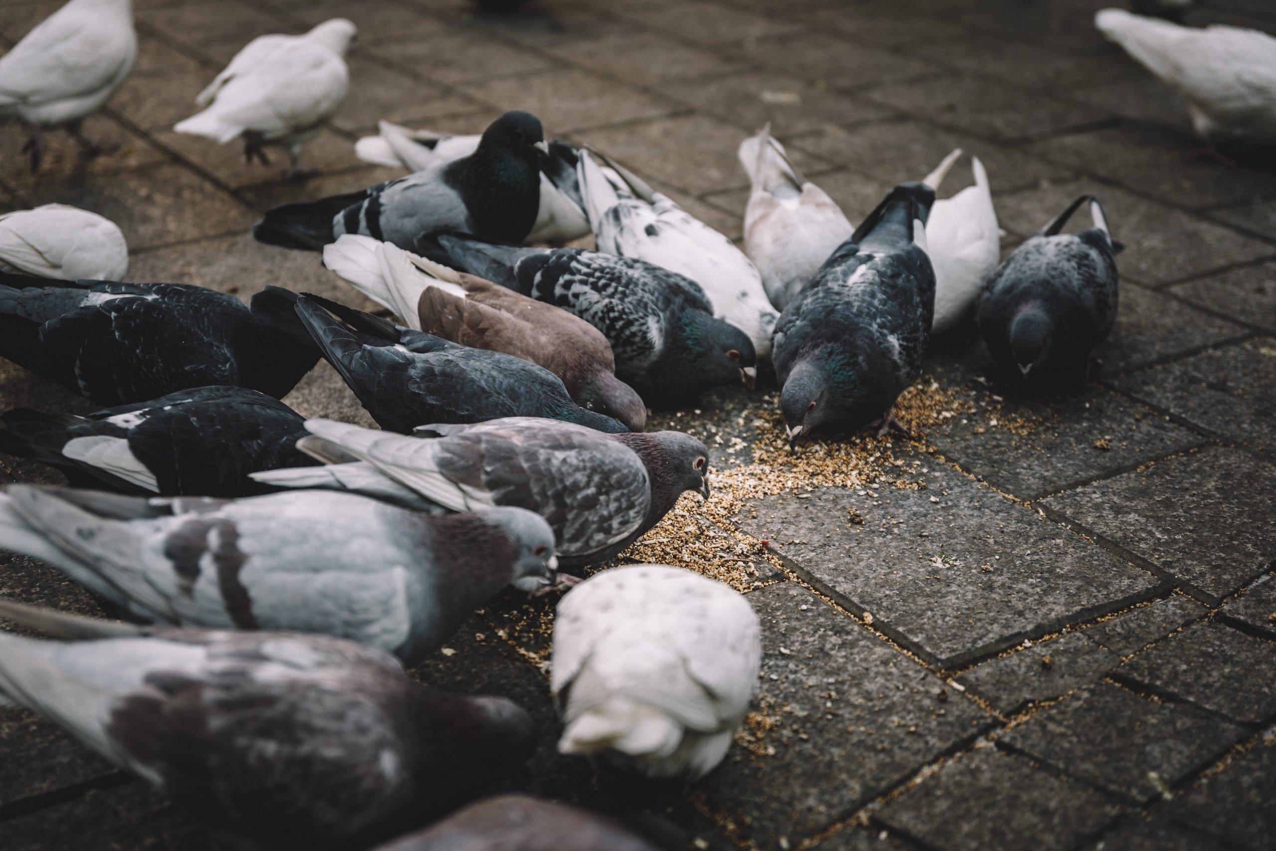 Gołębie posilające się ziarnem